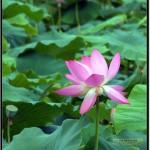 Nikon D90 照片-翠湖荷花