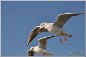 昆明滇池红嘴鸥照片