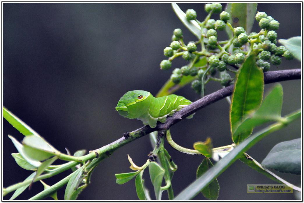 吃花椒树叶子的虫