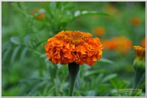臭芙蓉、万寿灯、蜂窝菊、臭菊花、蝎子菊