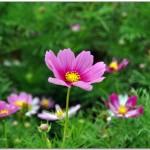 昆明海东湿地公园格桑花(波斯菊)