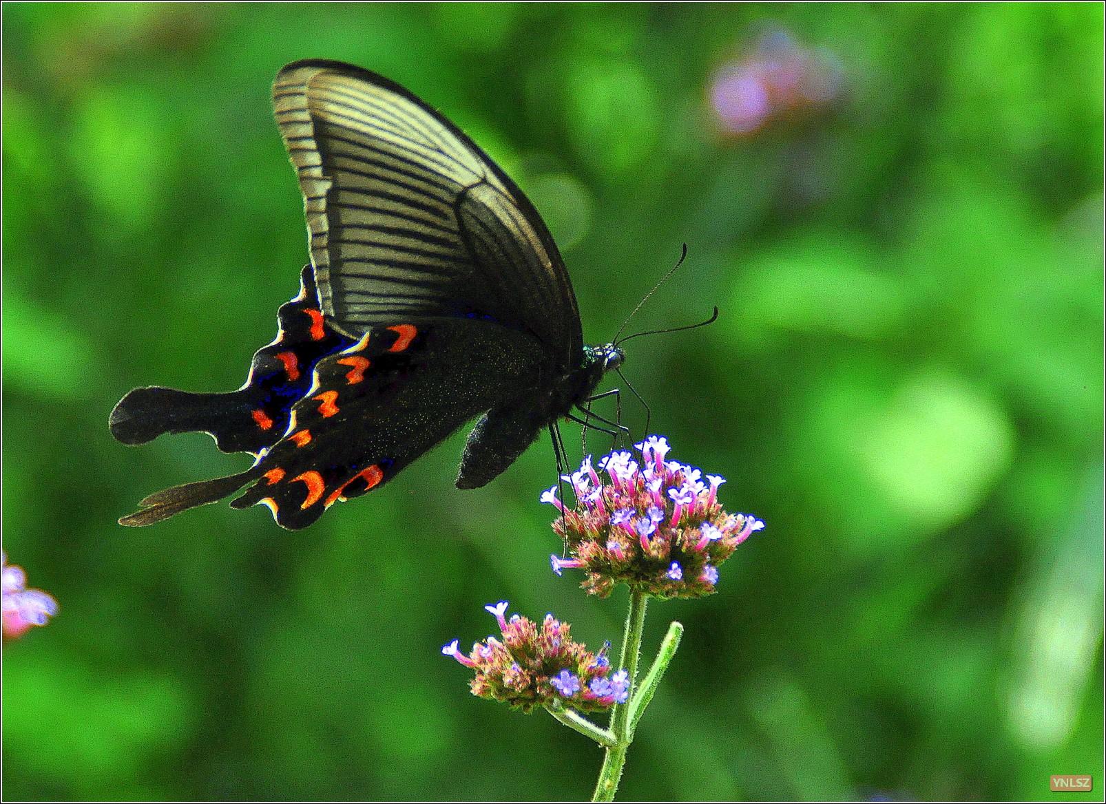 昆明金殿附近蝴蝶照片