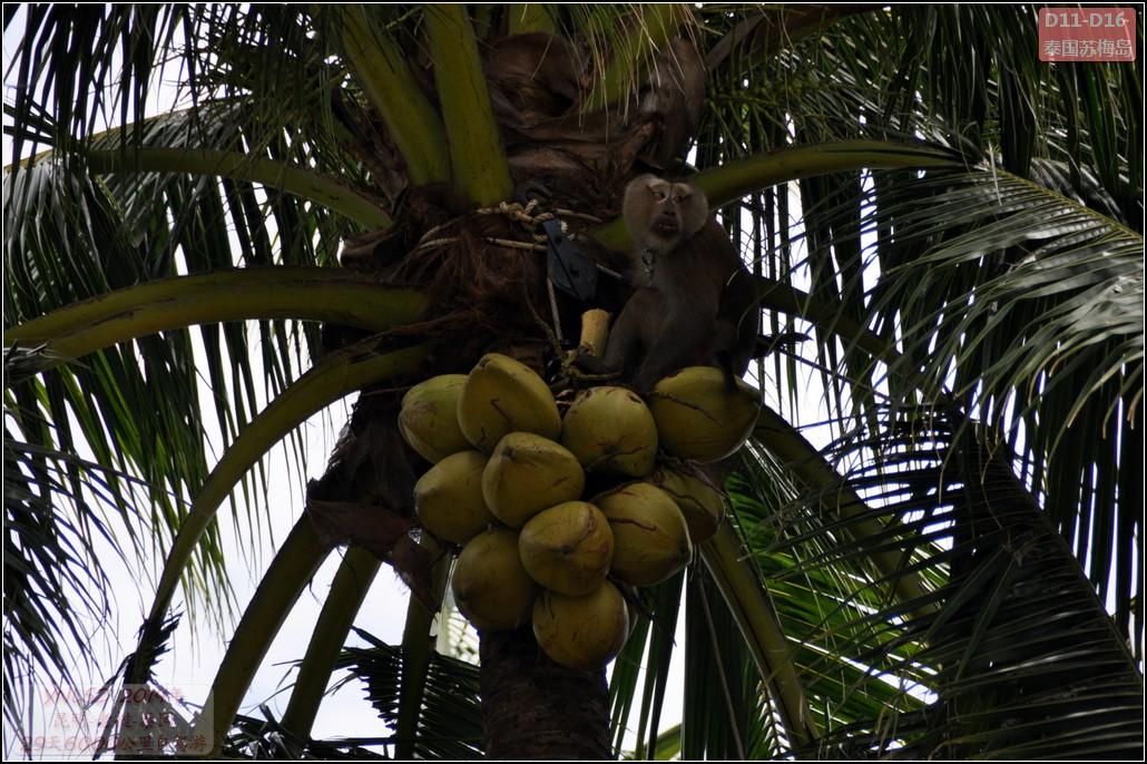 猴子摘椰子