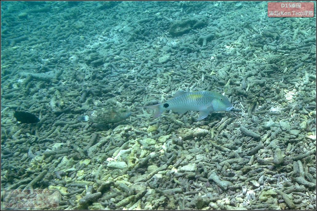 泰国涛岛浮潜(Snorkelling)